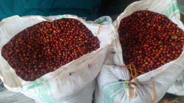 Kingha Coffee First Harvest Fall 2020