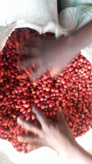 Kingha Coffee First Pulping 4