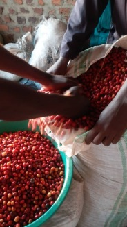 Kingha Coffee First Pulping 5